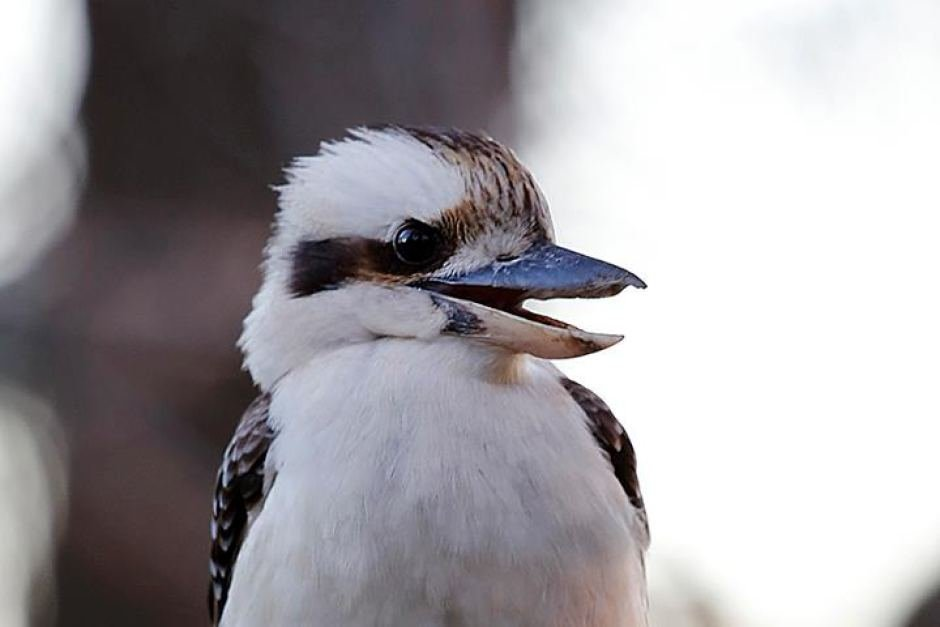 today I was sad but then I remembered that kookaburras exist https://t.co/3iN4ybppoi