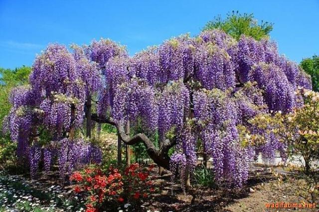 حديقة زهرة الحب في اليابان C1QsazRW8AA4M_Z
