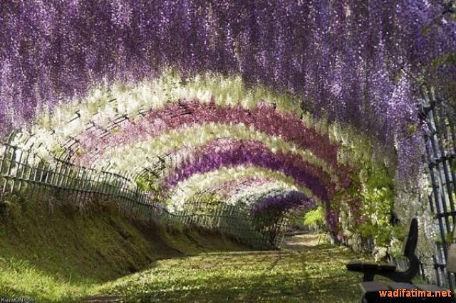 حديقة زهرة الحب في اليابان C1QscYUW8AEoG0V