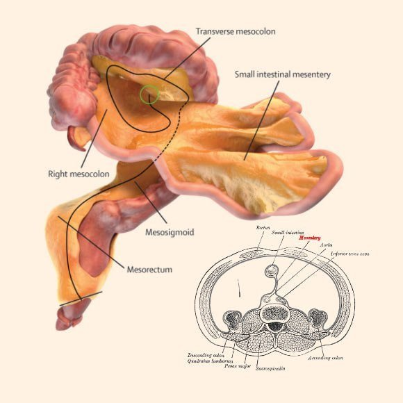 Introducing the newest organ in the human body: the mesentery. https://t.co/MxEyWQidv7