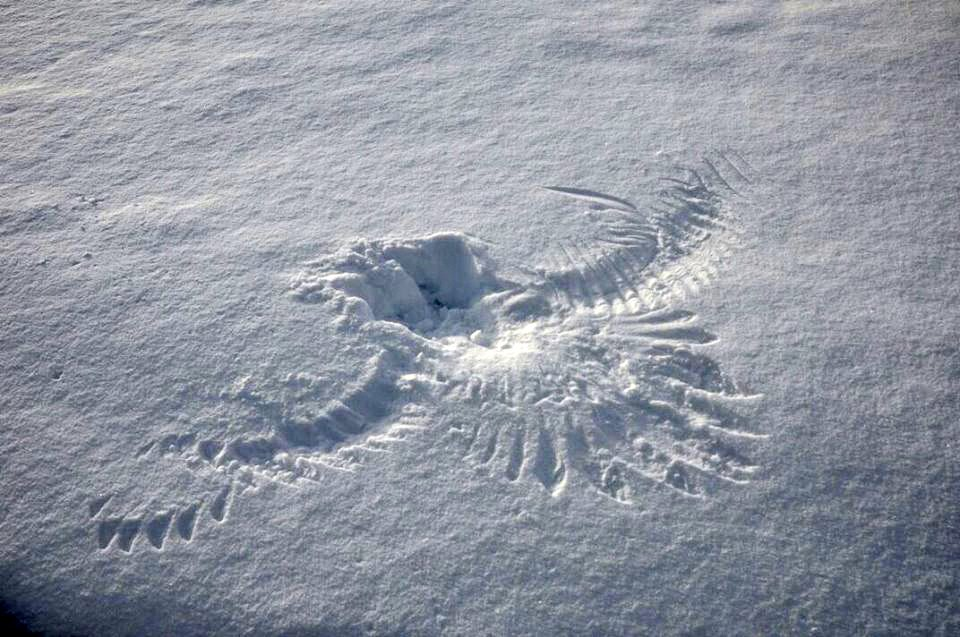 'Snow angel' left by Steller's sea eagle in Kronotsky reserve, Kamchatka  as seen by Liana Varavskaya