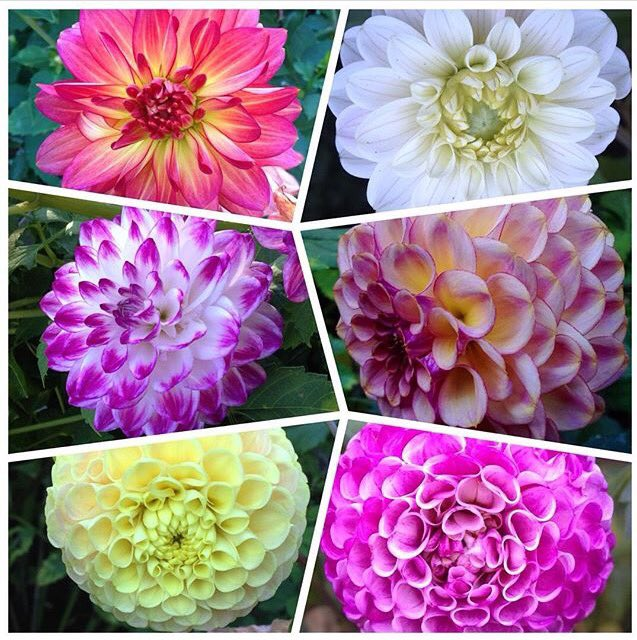 @dale_dixon @christophhowell @HortErotica @TexanInOz some more dahlias #flowerstoobeautifulforwords https://t.co/YxIBJG3aPq