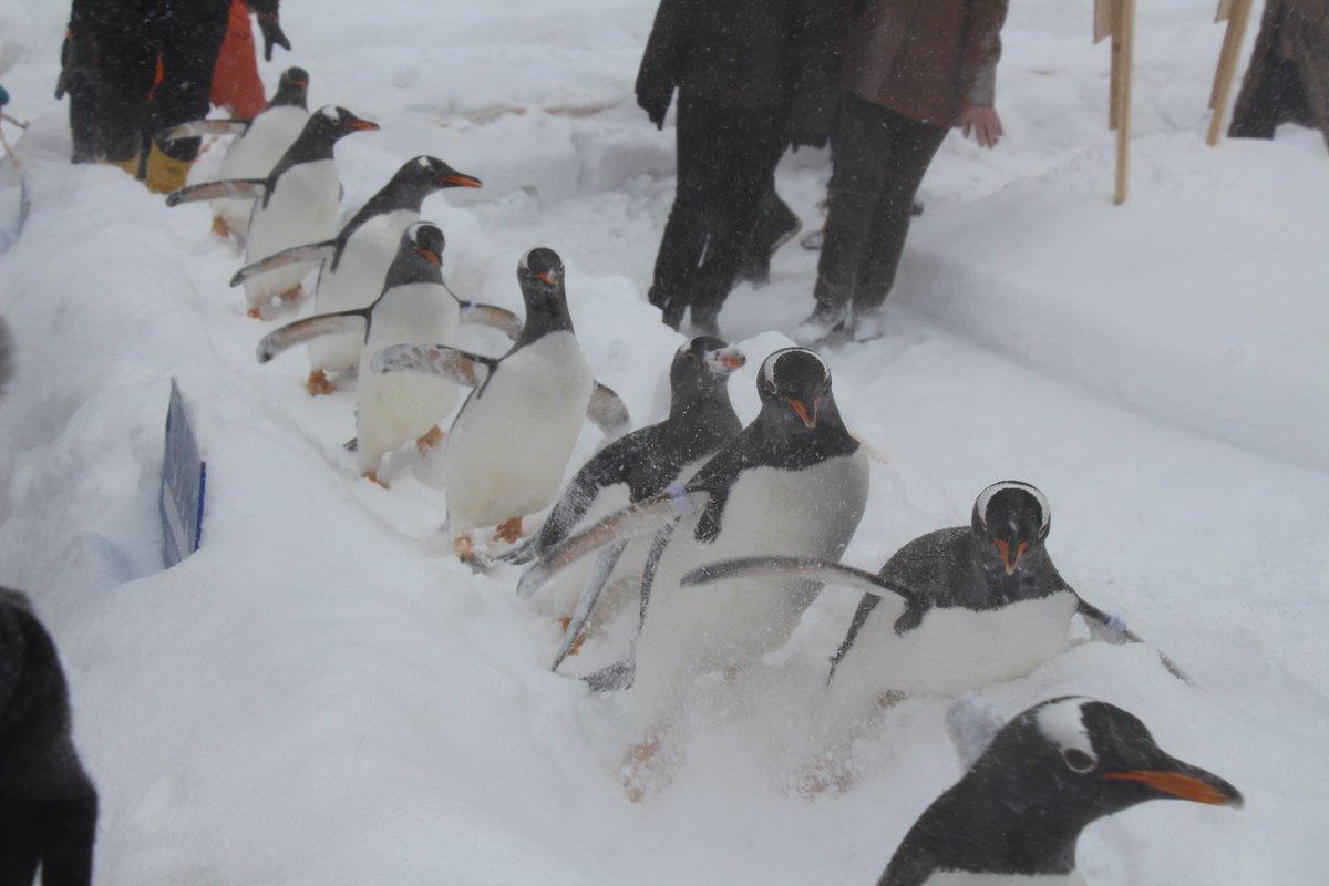 2枚目はレンズがすでに雪で曇ってしまってるのかも。ブリザード感は出てるけど、、、(小樽水族館 ジェンツーペンギンの雪中散歩) https://t.co/raGJvWx2Jb