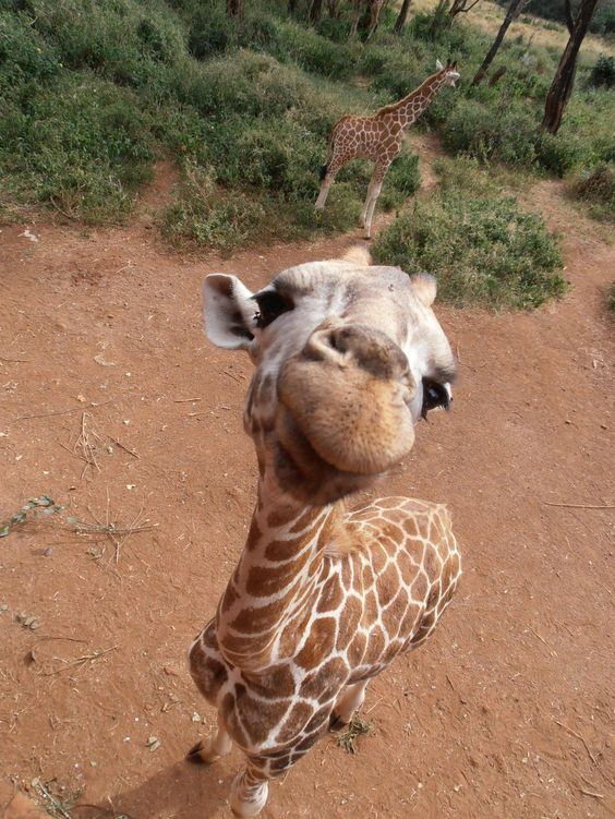 In case you were having a bad day, here is a picture of a giraffe selfie. https://t.co/zpd0v9ipcm