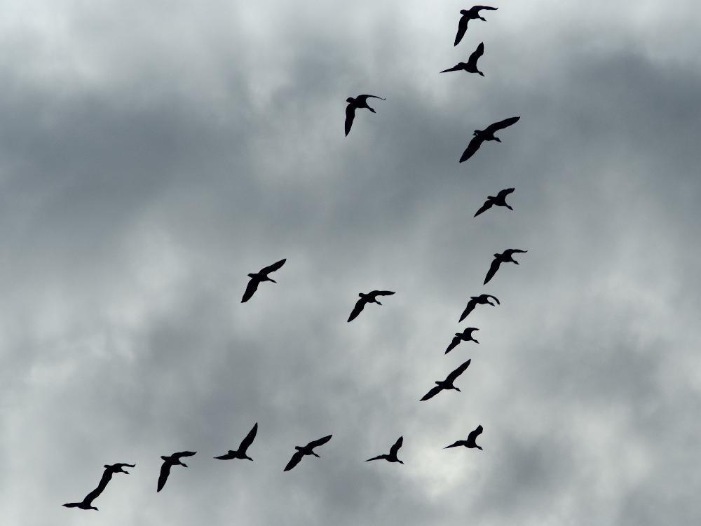 птицы летят косяком картинка советуем, подскажем