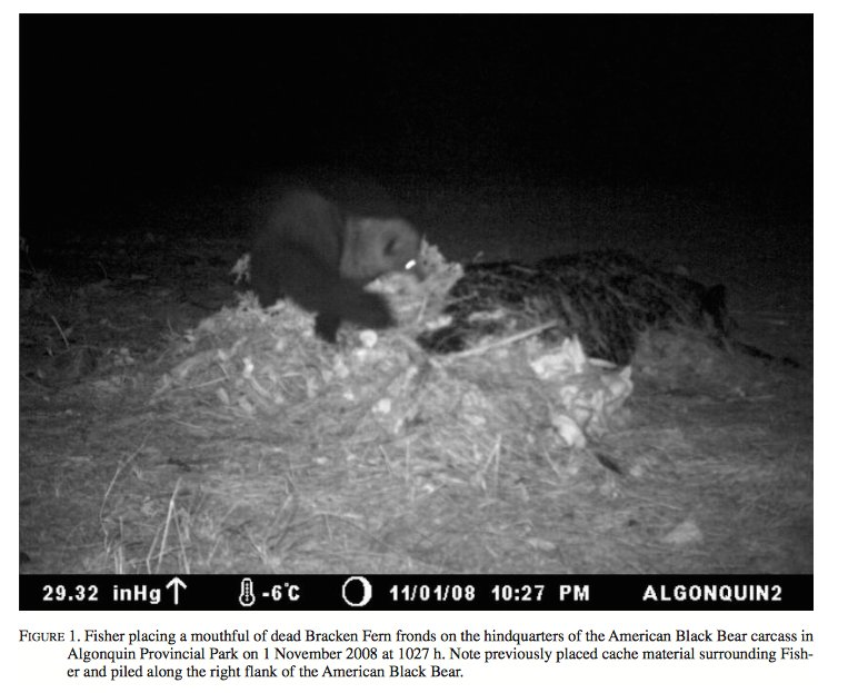 #Fisher caching the carcass of a Black #Bear @Algonquin_PP makes for a #BestCarcass story! Paper by @Birder_Justin:   http://www. canadianfieldnaturalist.ca/index.php/cfn/ article/viewFile/1367/1360 &nbsp; … <br>http://pic.twitter.com/1XouvW5RNZ