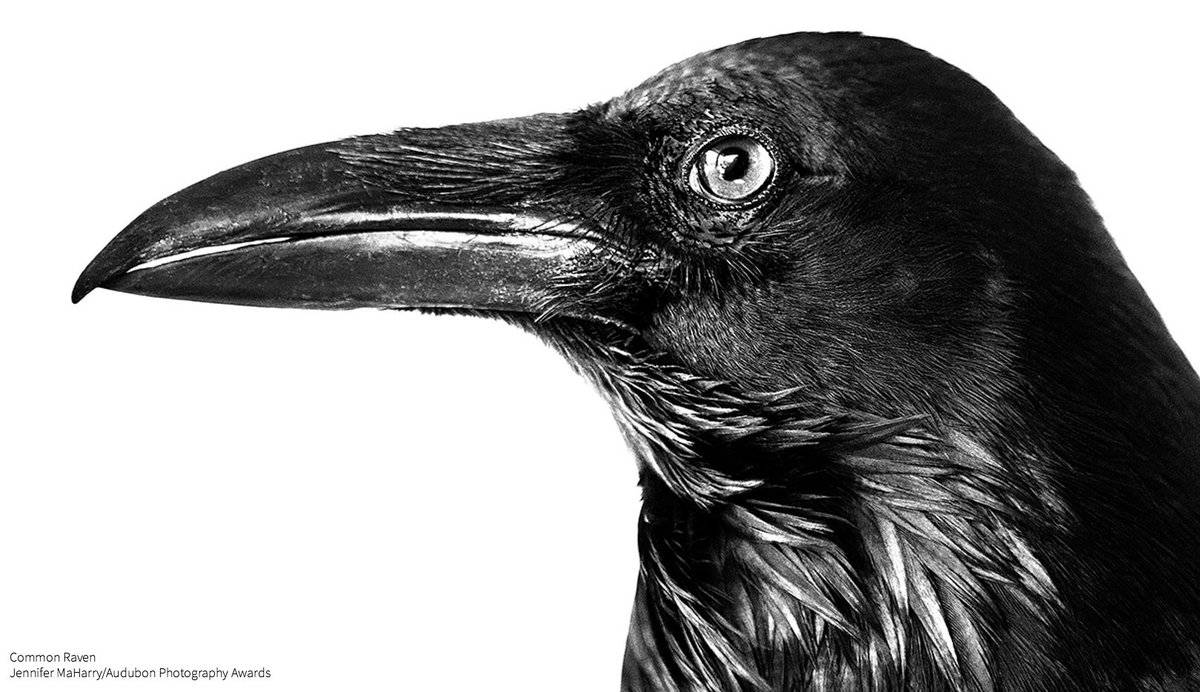 What's everyone raven about? Why, #NationalBirdDay of course! https://t.co/2u13RSQXa5