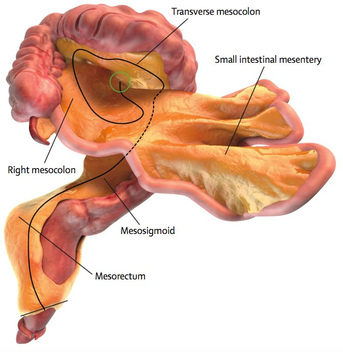 Mesentery New Organ Discovered Inside Human Body Baaz