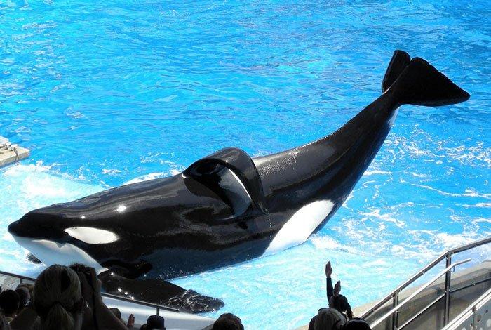 #Blackfish director @GabCowperthwait calls @SeaWorld's killer whale Tilikum a 'martyr' https://t.co/IYh4J194Gb   #EmptyTheTanks https://t.co/339k0MRVje