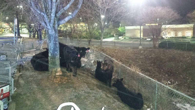 Thumbnail for Police in Georgia encounter 'udder chaos' dealing with escaped cows