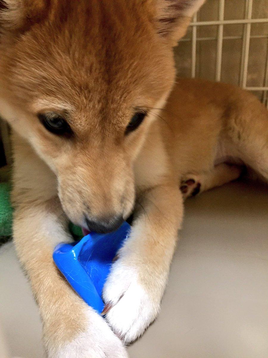 もこ に青いボールをあげたら… 10分程でペシャンコ😩 飽きて水入れに捨てられた…😭 …青いボールが…😔💧