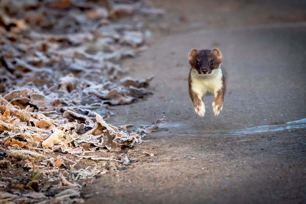 A stoat barrels towards @hman01uk's camera and gets him a spot on the #WexMondays shortlist. Great shot https://t.co/QCPl1T6bUX
