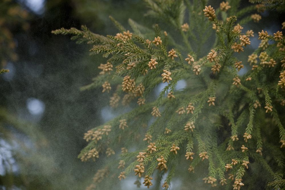 【きょう1月23日は「花粉対策の日」】 春の花粉対策は1月、2月、3月がポイントであるということ、「…