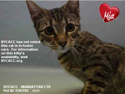 A Nice #Kitty Deserves A Nice Home In #NewYorkCity Mia Is A Nice Kitty Give Her A Nice Home #Adopt At #NYCACC #Pets