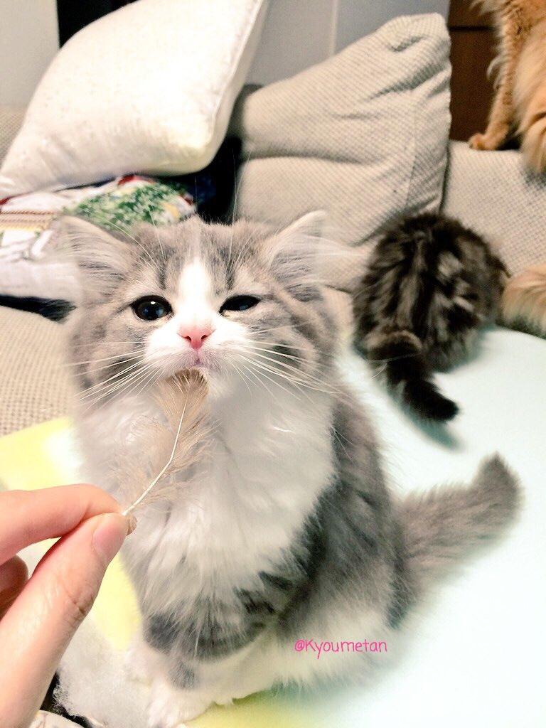 この可愛さはヤバいww美人すぎる猫ちゃんww