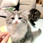 この可愛さはヤバい美人すぎる猫ちゃん