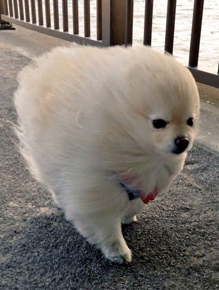 強風の中を歩くオールバック姿のワンちゃんが可愛すぎるw