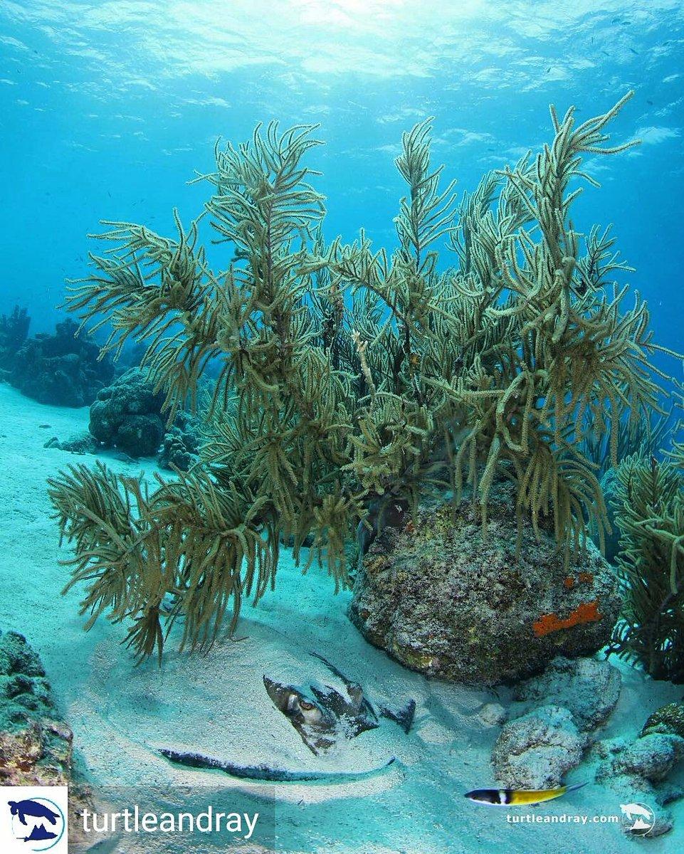 #Discover &amp; #dive #Curacao... hidden #treasures await!  http:// oceana.org/marine-life/sh arks-rays/southern-stingray &nbsp; …  #scubadiving @Oceana @SaveOurSharksNL @turtleandray<br>http://pic.twitter.com/7lzK0QQiF7