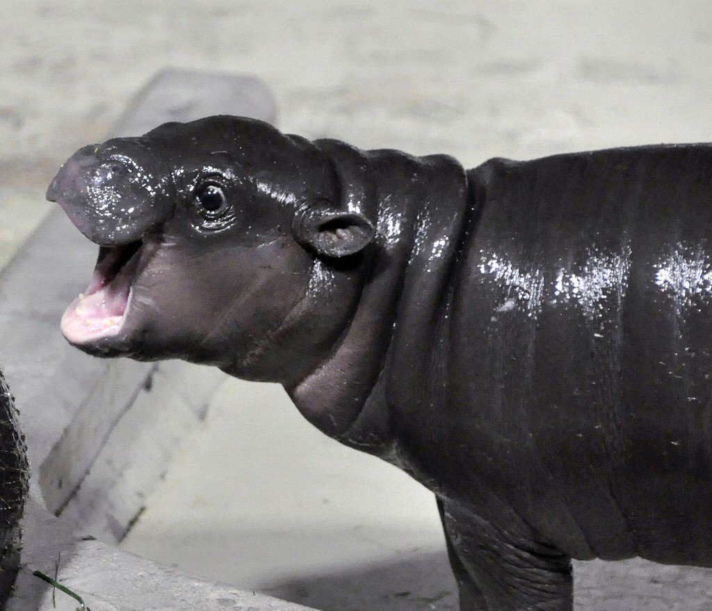 かわいい! 世界三大珍獣「コビトカバ」雄の赤ちゃん誕生 石川、名前も公募へ - 産経ニュース san…