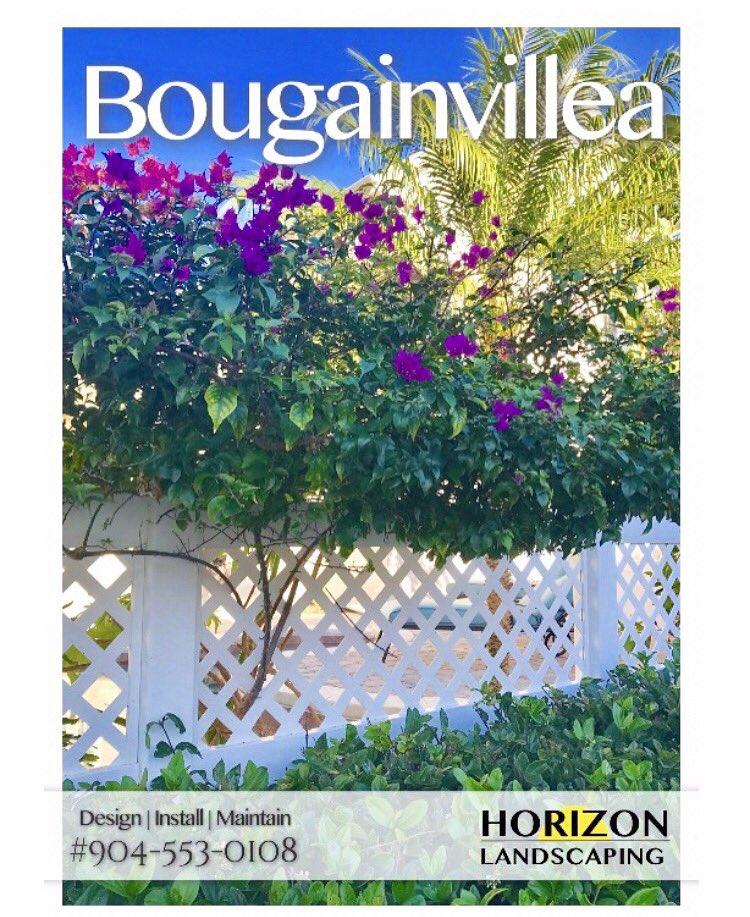 RT https://t.co/TDyuE5wBZ9 #Beautiful #Bougainvillea #Jacksonville #La...