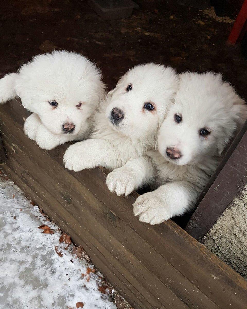 Joe Papp On Twitter Cane Da Pastore Maremmano Abruzzese Pups That