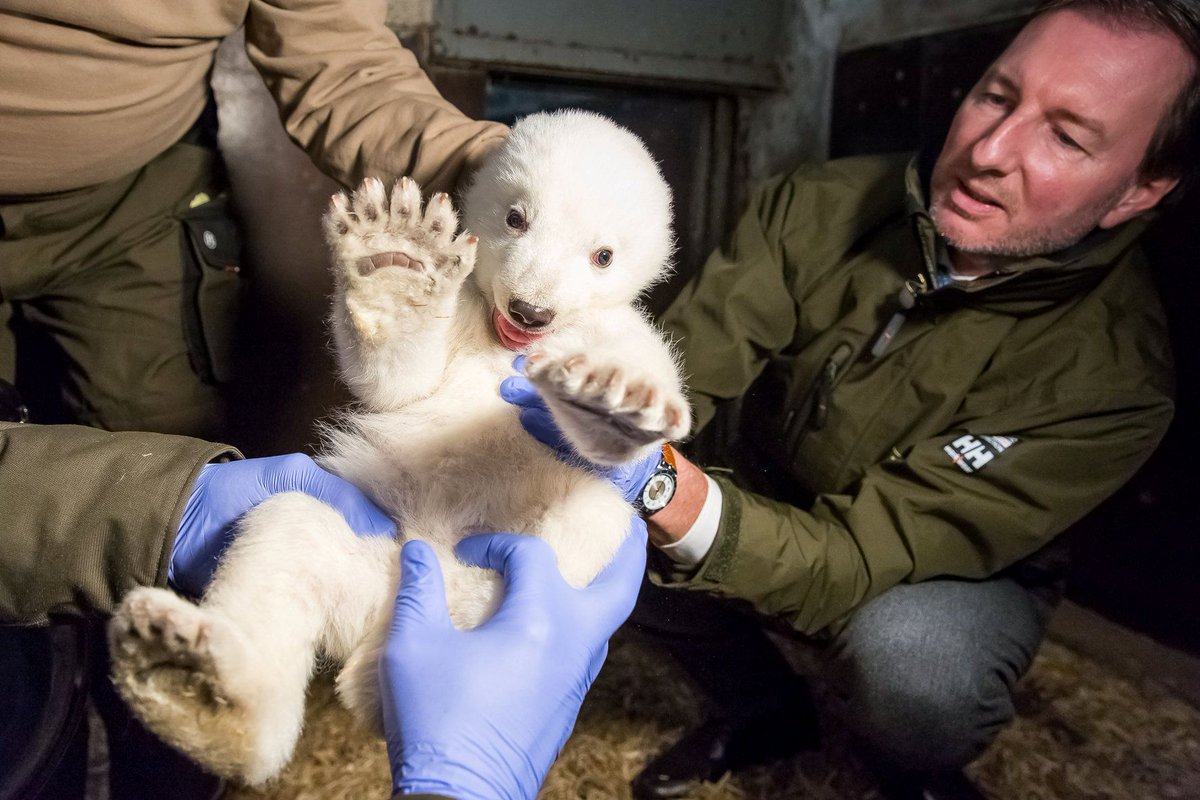 A zoo in Berlin, Germany is doing a physical check for a baby polar bear that was born in Nov. 3, 2016. (CFP) https://t.co/xHdXlEVibk
