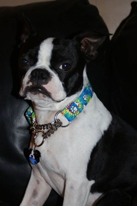 Gage ! - models new Martingale Chain Collar! #pets #dogs #love #fun #popular #instagood #Dogsoftwitter #petcorner<br>http://pic.twitter.com/Oa8PVKjMS7