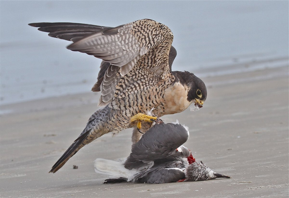 Nothing to see here. Just a Falcon eating a Seahawk. #RiseUp https://t.co/OrG5vuz1Qy