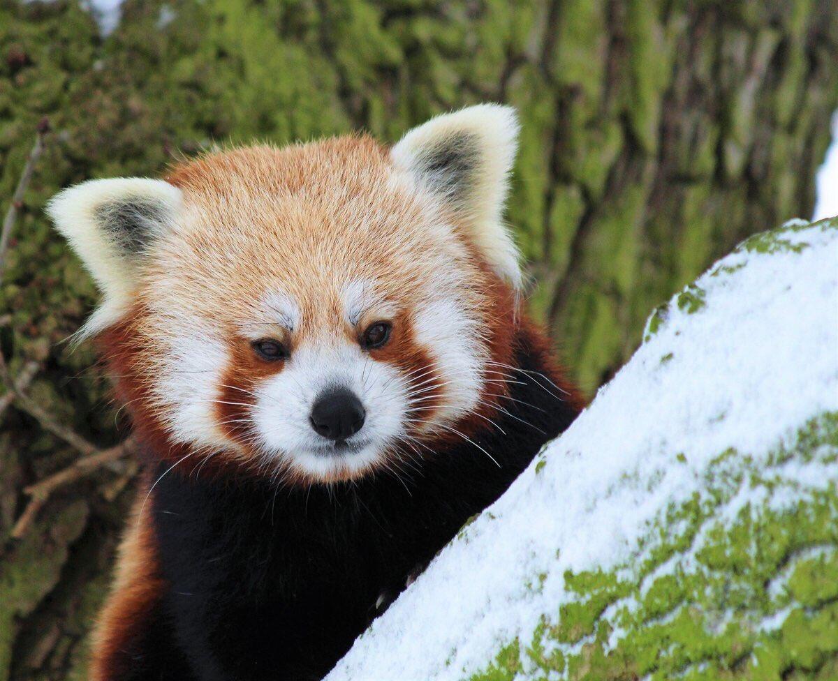 Red Panda (@RedPandasDaily) | Twitter