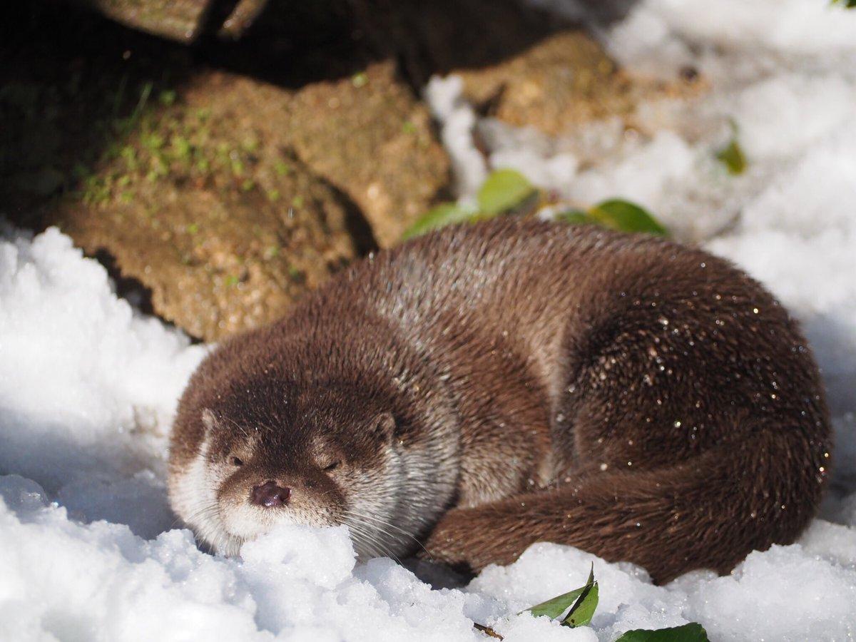 雪とリオちゃん #安佐動物公園 #カワウソ #otter pic.twitter.com/ukTYLLcaIO