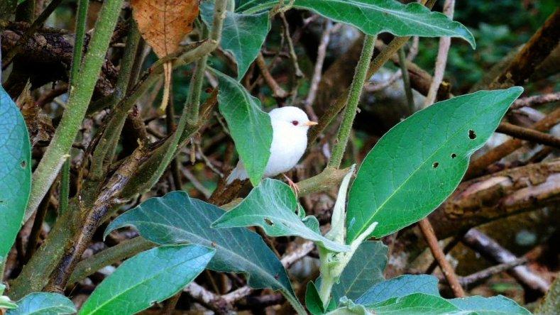 Un tec-tec albinos, petite boule de poils aux yeux rouge observé au #Maïdo   http:// ow.ly/JzYT3082FFF  &nbsp;   #LaReunion #Team974 #oiseaux #tourisme <br>http://pic.twitter.com/bAfG8I6vBV