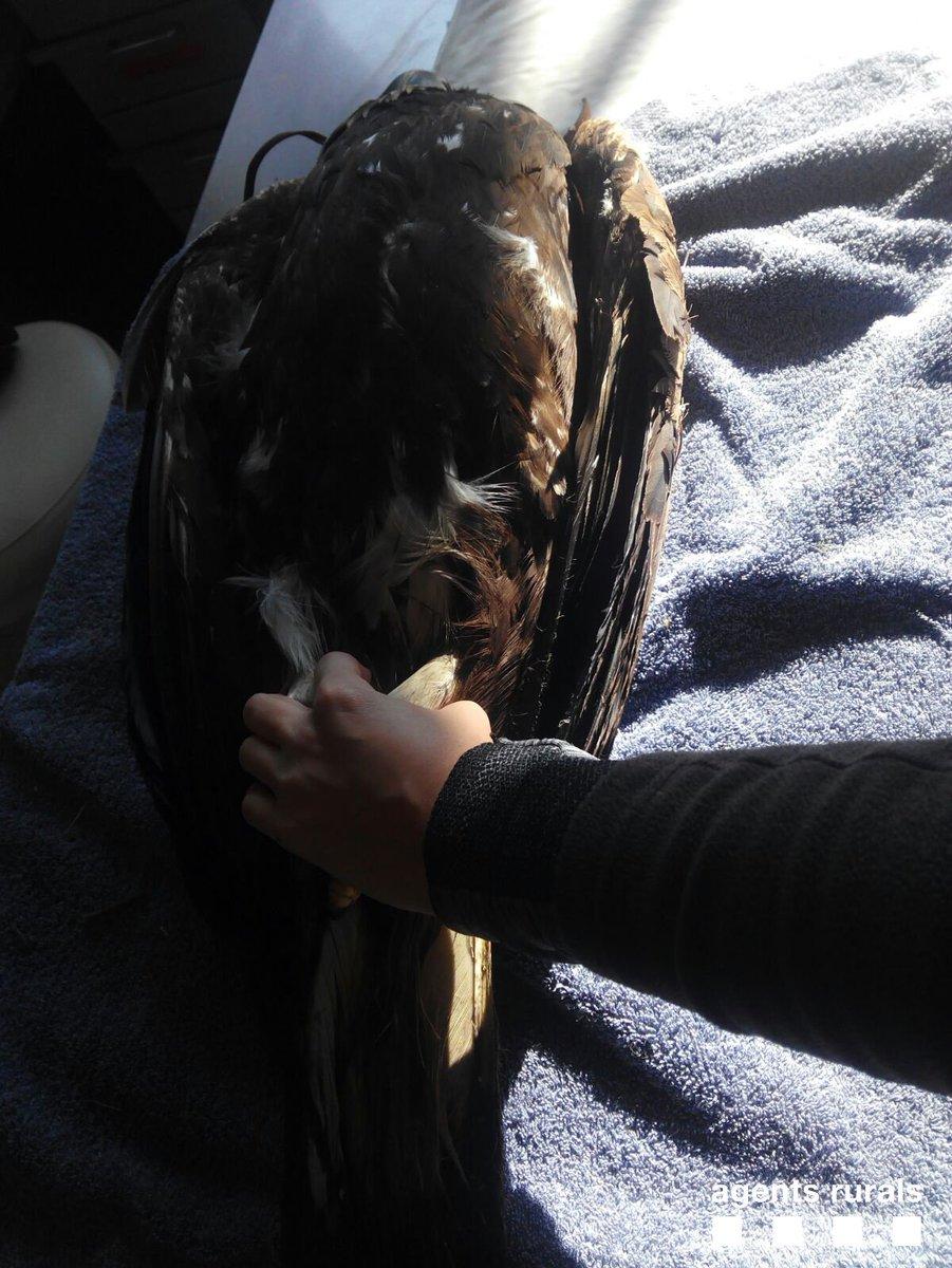 #AgentsRurals troben àguila daurada ferida per trets a #Agramunt i la traslladen a Centre fauna @mediambientcat #fauna<br>http://pic.twitter.com/hcSAC6PF5r
