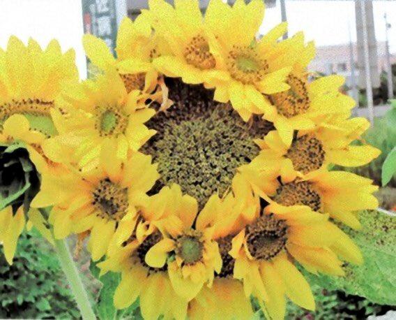 《帯化(たいか)》と呼ばれる異形の花々。変異は野菜や果物は目にするが植物もその例外ではなく存在する。…