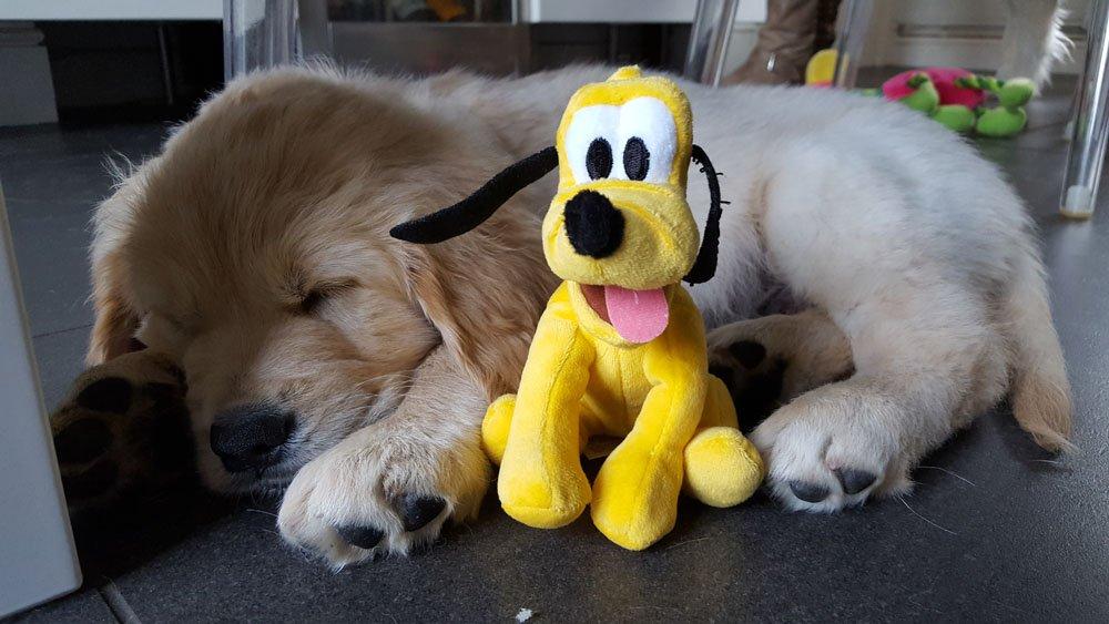 Canine Partners On Twitter Fridaypuppyfix Ssssh Golden Retriever