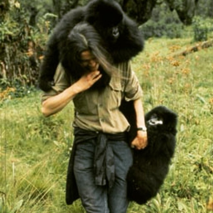 Happy Bday to Dian Fossey. An inspirational woman, who worked tirelessly to research & protect Mountain Gorillas.