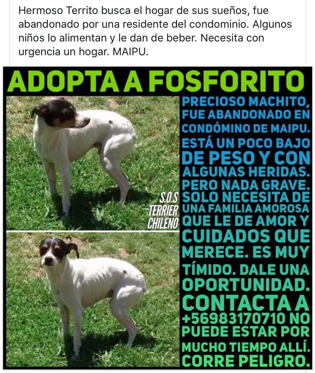 Fosforito #TerrierChileno abandonado, busca el hogar de sus sueños #Maipu @lostpets_cl @carolinapinoc @millha1907 @botaspuesta @TonkaTP RT<br>http://pic.twitter.com/314aBz8Jsr