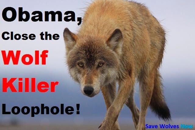 #wolves #StandForWolves #KeepWolvesListed #BlockMcKittrickPolicy 202-456-1414 TWEET @POTUS URGENT : @washingtonpost @HumaneSociety @nytimes<br>http://pic.twitter.com/DIy0w2NM4B