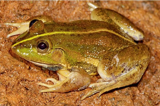 A frog discovered with the help of citizen scientists