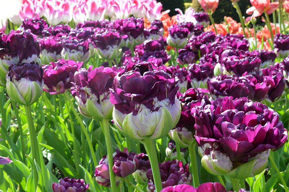 Tulipani italiani on twitter oggi il tulipano numero for Tulipani italiani