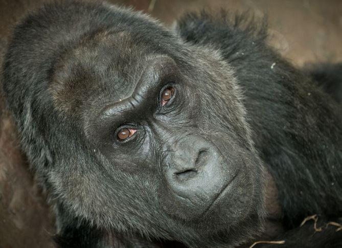 BREAKING: Columbus Zoo announces death of Colo, World's Oldest Zoo Gorilla https://t.co/E9ntpjmrCr #10TV https://t.co/dvttk4Gtze