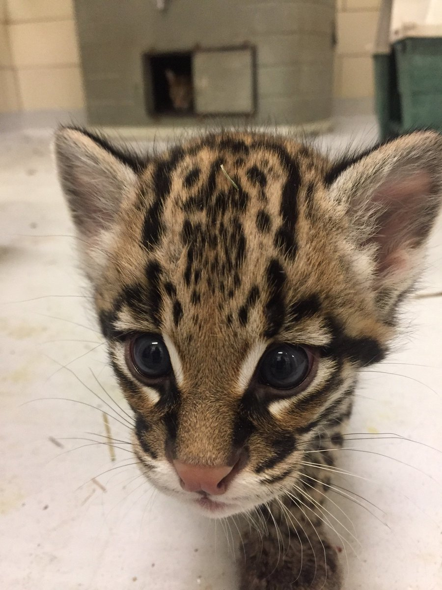 The @buffalozoo has announced the birth of a new ocelot! https://t.co/pMHgyOsDPM