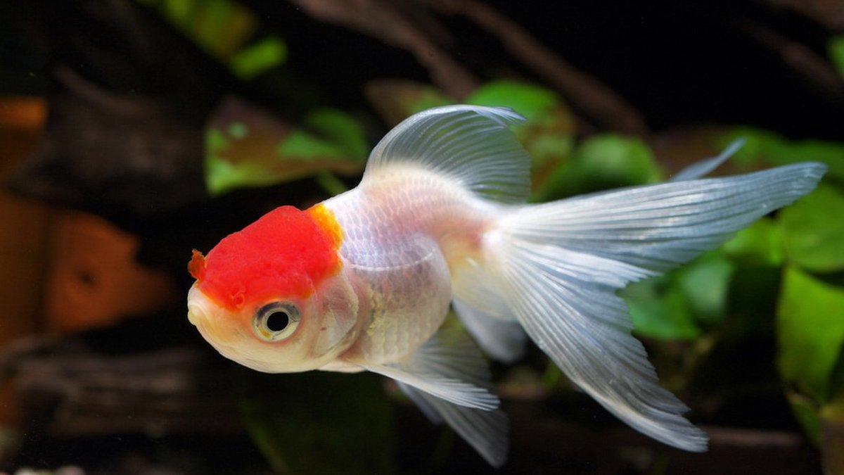 Fish aquarium in ecr - Aquarium Talks On Twitter Regular Water Changes Will Keep Your Goldfish Safe From Dozens Of Fin Diseases Like Fin Rot Aquariumtalks Fish Fishtank