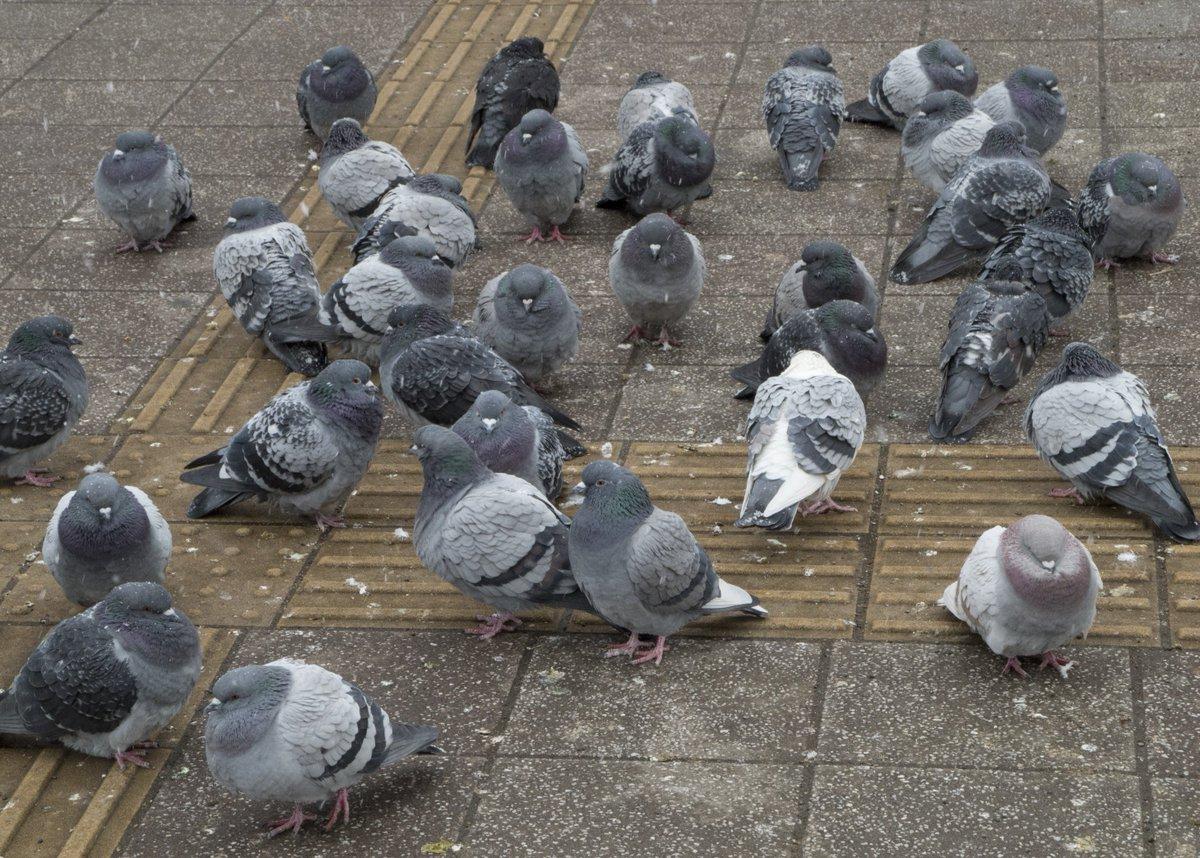 -7度の寒さで「ふるもっふ」になる鳩 と もふもふの塊(近寄っても動かない)