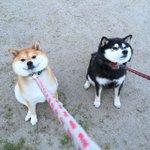 これはけしからんモフモフっぷり…!散歩を拒否する柴犬の姿が可愛すぎる