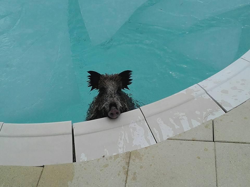 Sélestat : il tombe sur un sanglier dans sa piscine #Faitsdivers #sanglier #battue  http:// france3-regions.francetvinfo.fr/alsace/bas-rhi n/selestat-il-tombe-sanglier-sa-piscine-1177307.html &nbsp; … <br>http://pic.twitter.com/kUIilKgUFT