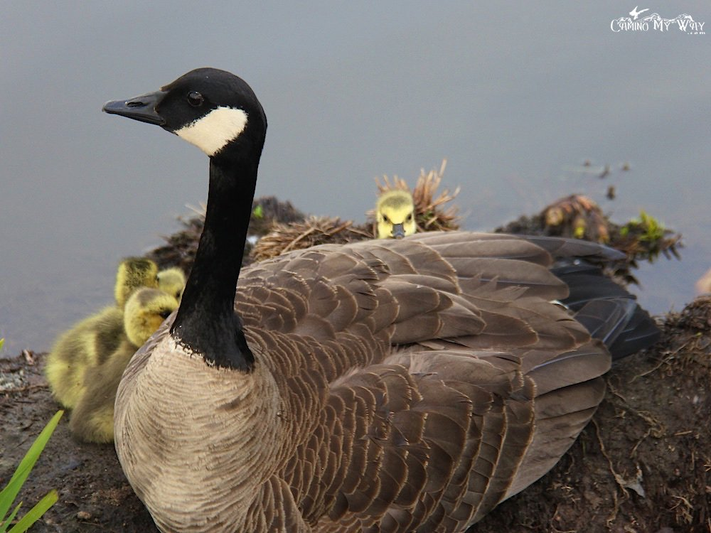 I see you  Mama Canada Goose and goslings at Burnaby Lake, Burnaby, Canada. Springtime! #burnaby #gosling #Canadagoose<br>http://pic.twitter.com/OxjwYeVcZG