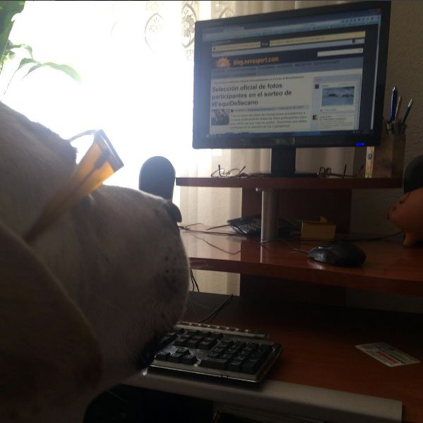 Spike 🐕 sigue atento las votaciones del concurso 🏆 #EsquiDeSecano con #GanasDeEsquiades 🤣Entra y vota en 👉https://t.co/Gu0J1O9dEE