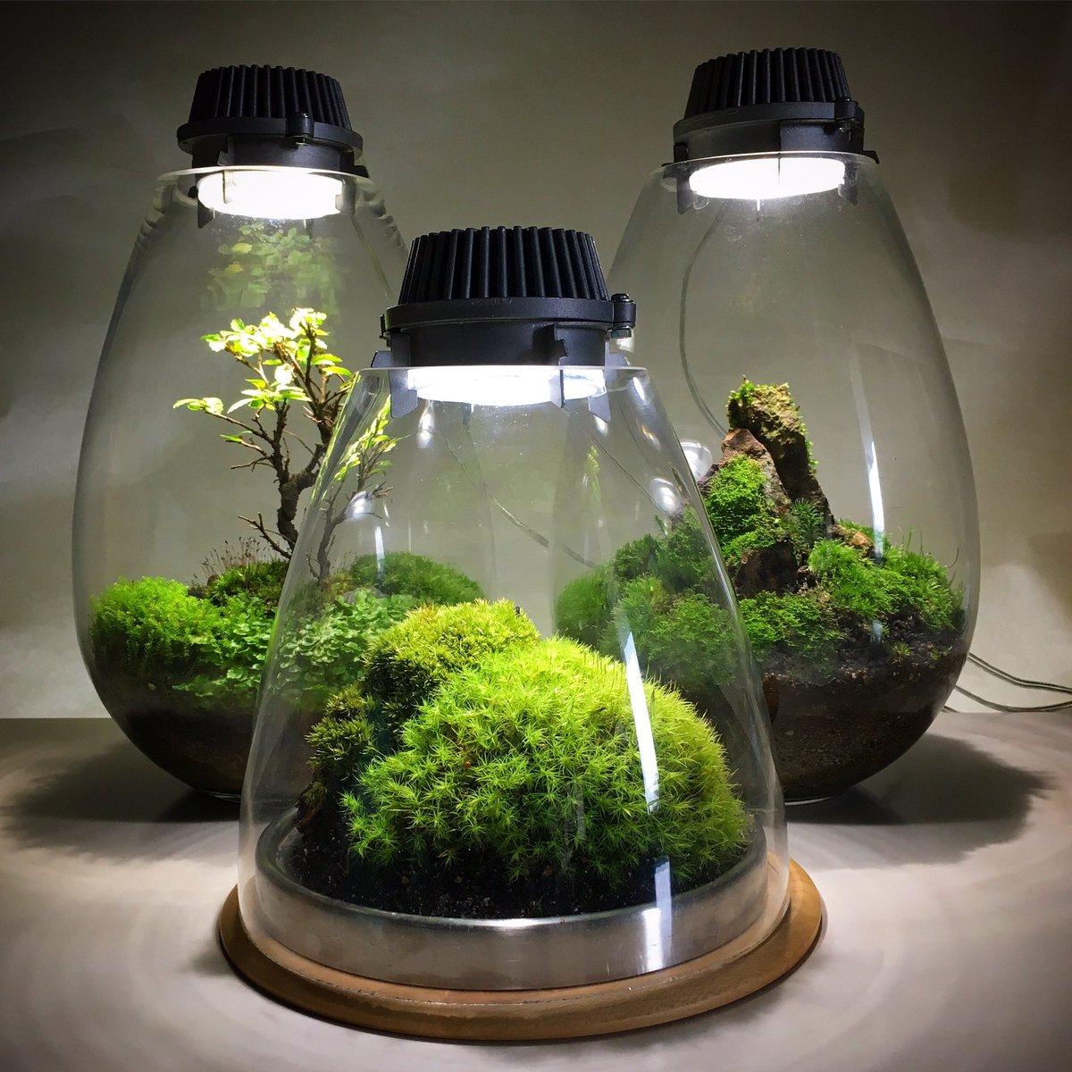 Mosslight Led On Twitter Quot Ã�ランダのコケ盆栽から、元気そうなタマゴケをもってきて