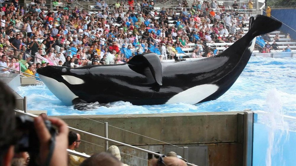 Philip Hoare, author of The Whale and The Sea Inside, on the death in captivity of #Blackfish orca Tilikum. https://t.co/6sRu66au0w https://t.co/a5F0ZWh118