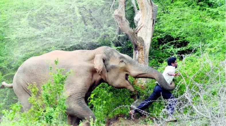 En India aumentan los ataques por parte de los elefantes... a cazadore...